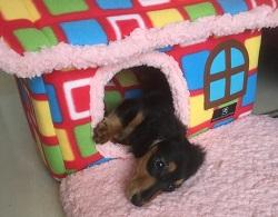 別荘で横なる愛犬