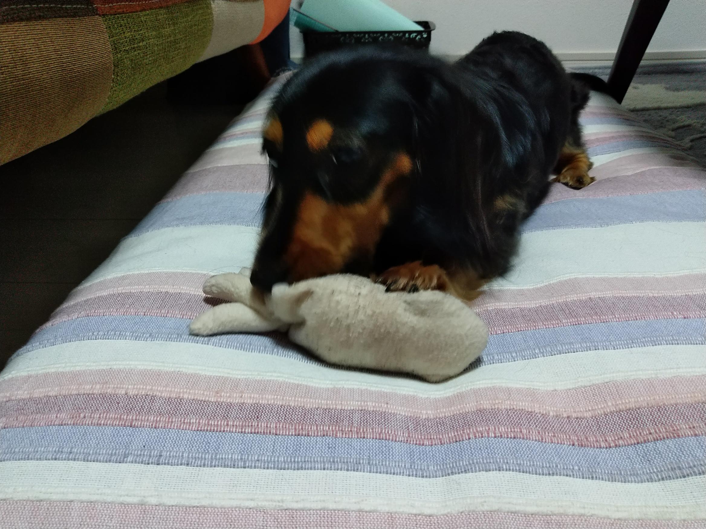 おもちゃで遊ぶ愛犬