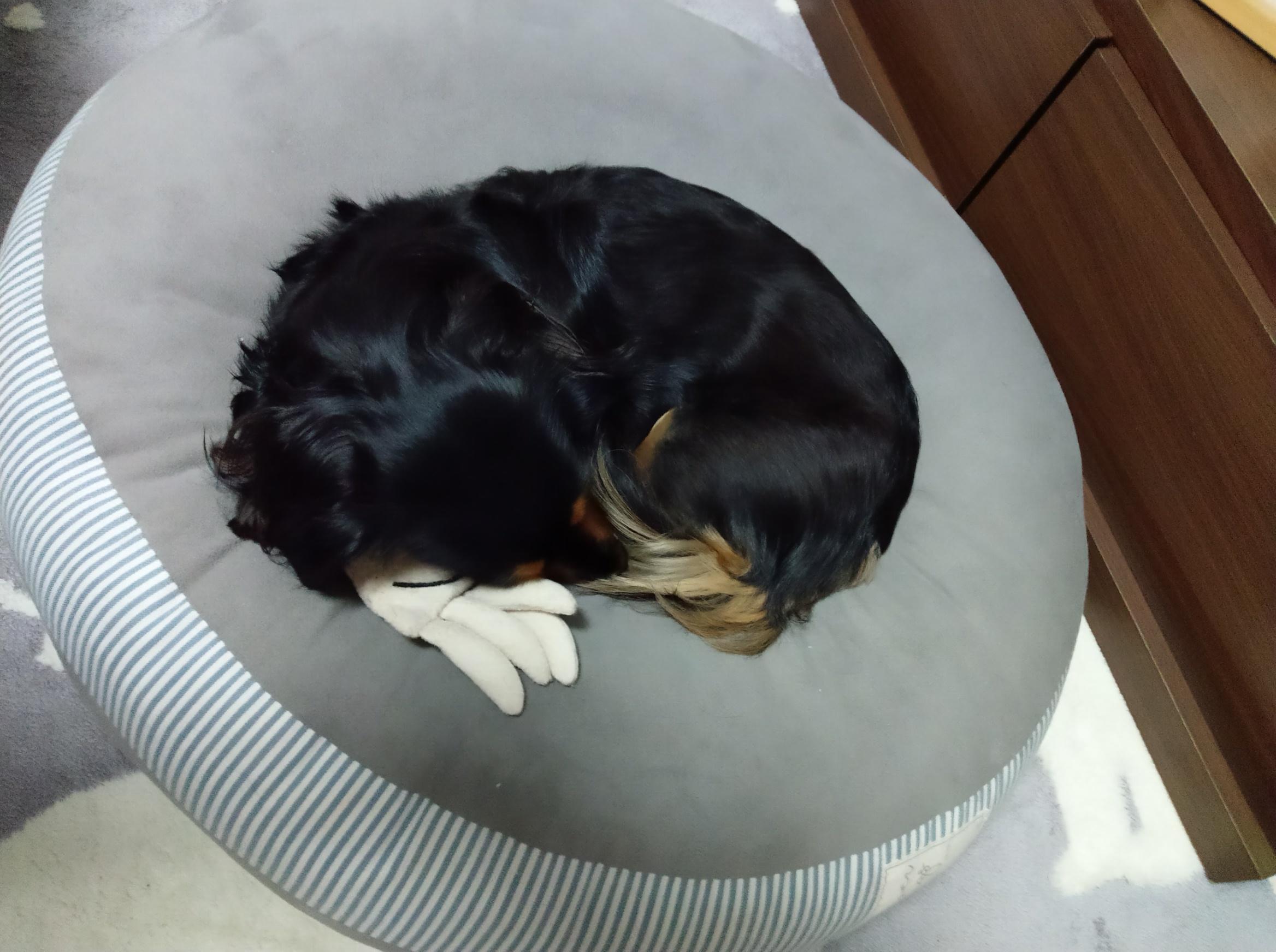 おもちゃと眠る愛犬