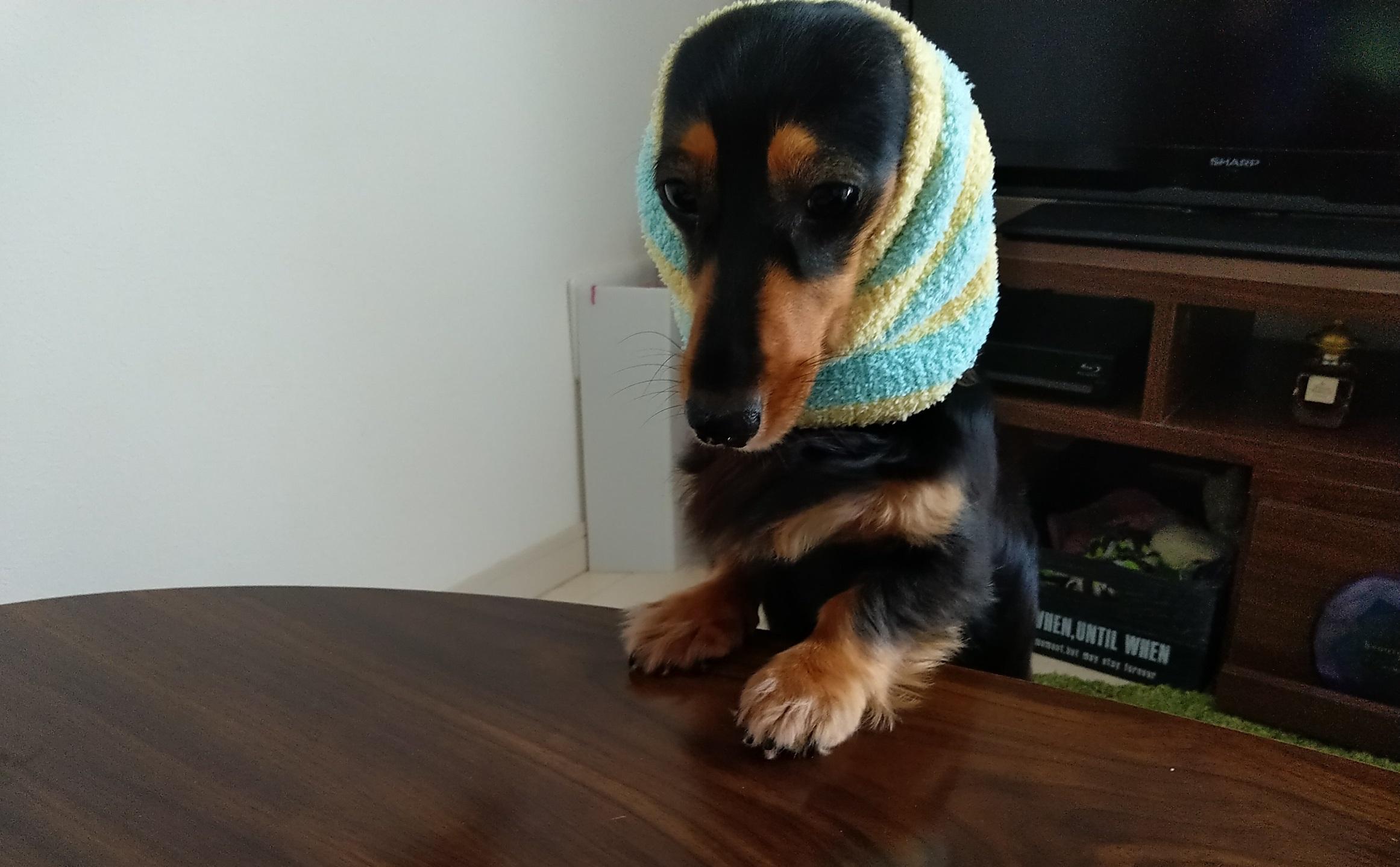 耳にカバーにバンドをされた愛犬