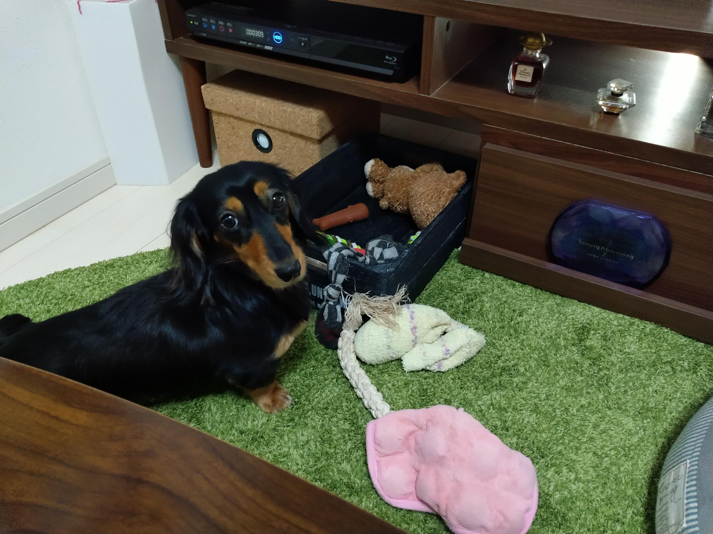 大好きなおもちゃが無いことに気づく愛犬